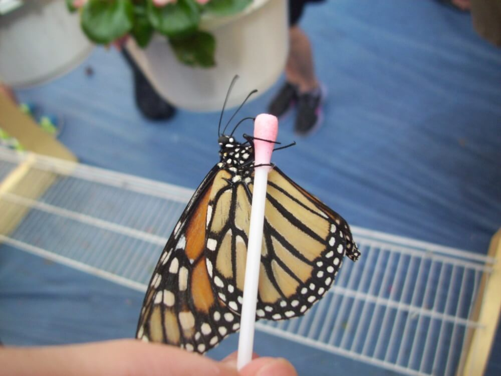 13th Annual Butterfly Festival