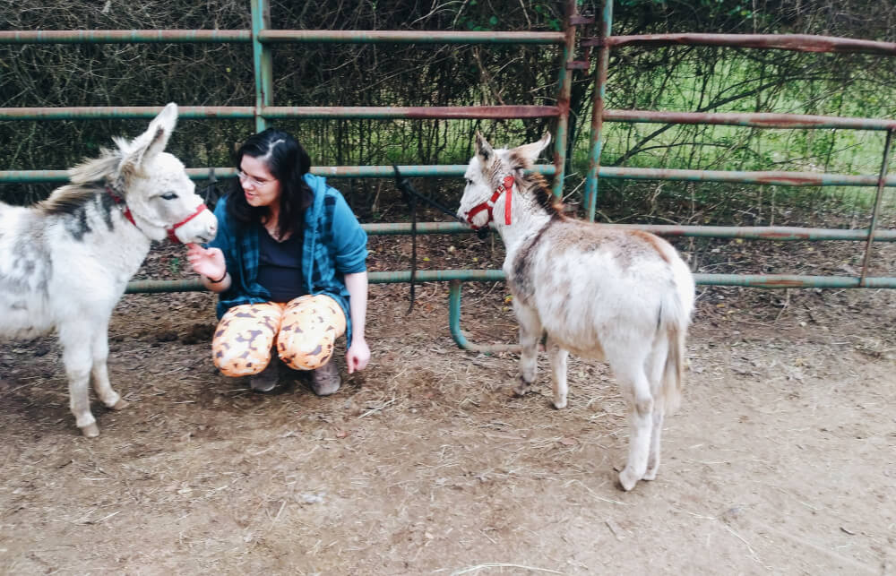 Woman squatting between two miniature paint donkeys wearing red halters, hand under older one's chin